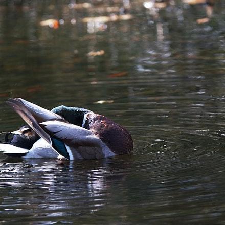 Duck Yoga, Sony SLT-A35, Tamron Lens (255)