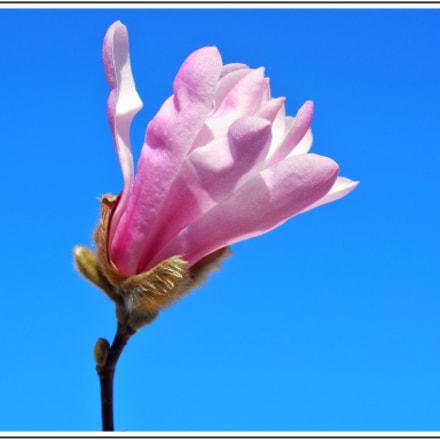 Le magnolia étoilé, Nikon COOLPIX S6500