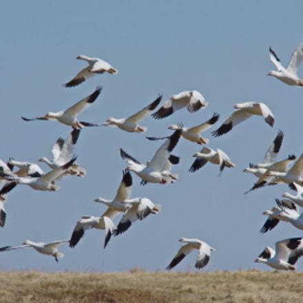 Spring Migration, Pentax K-5 II S