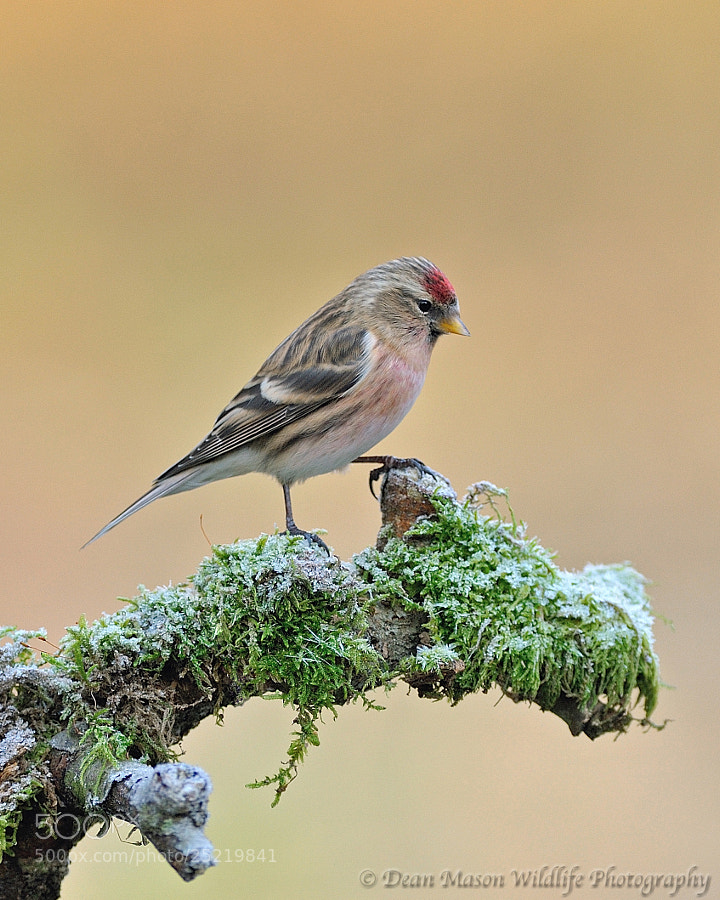 Photograph Frosty Redpoll by Dean Mason on 500px