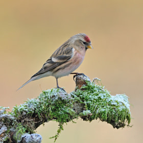 Frosty Redpoll by Dean Mason (DeanMason)) on 500px.com