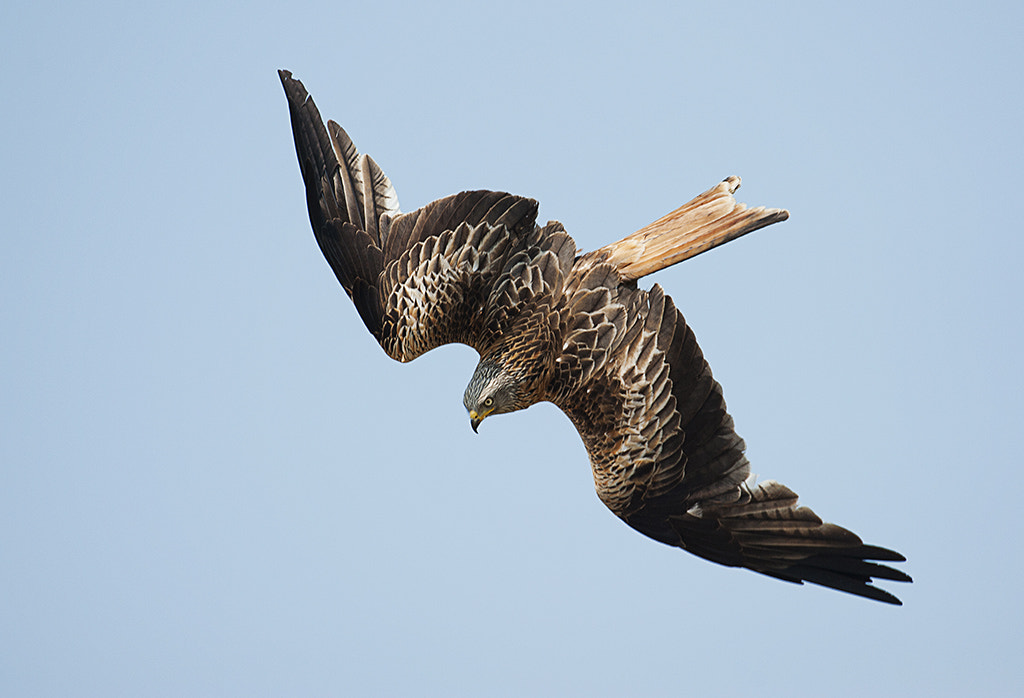 Photograph Red Kite in Flight by Andrew Chu on 500px