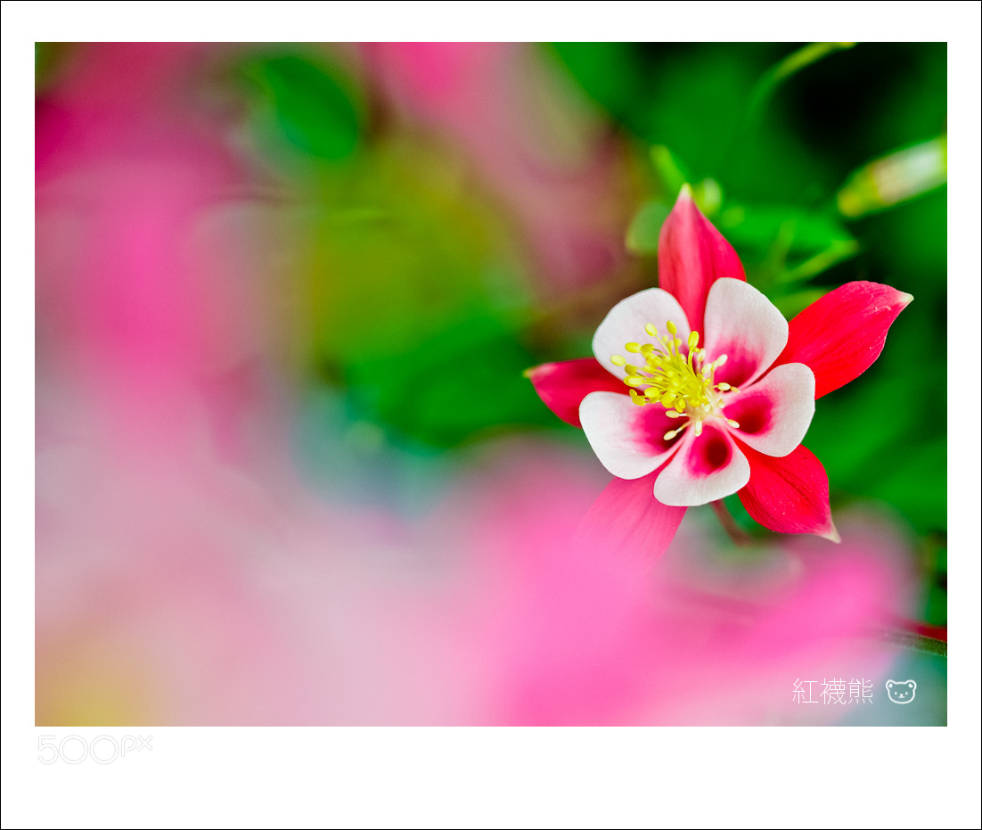Photograph 耬斗菜 by Kyle Lin on 500px