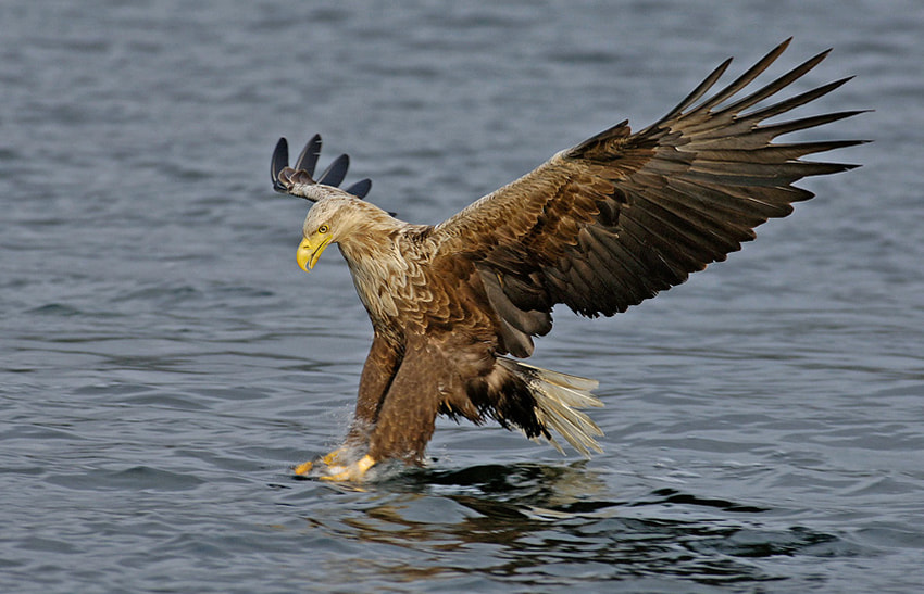 Although this shot has been taken with a shutter speed of 1/1000th of a second, the impact of the talons of this White Tailed Eagle on the water surface and the fish he does catch is that hard, that there is some movement left in the lower part of his legs and talons by which this part isn't sharp. 