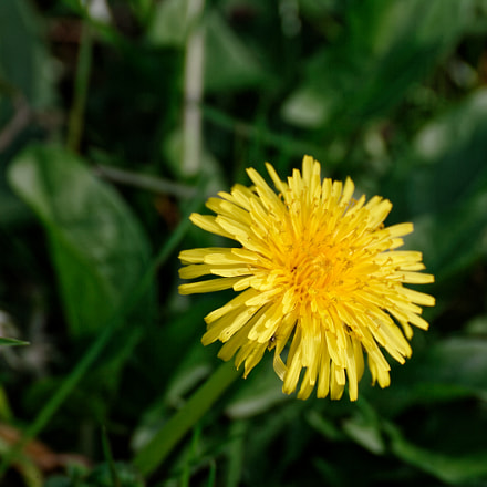 flower of dandelion, Canon EOS-1D MARK II, Tamron SP 35mm f/1.8 Di VC USD + 2x
