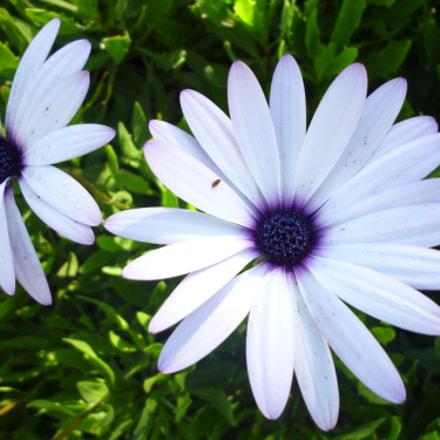Asteraceae, Panasonic DMC-S1