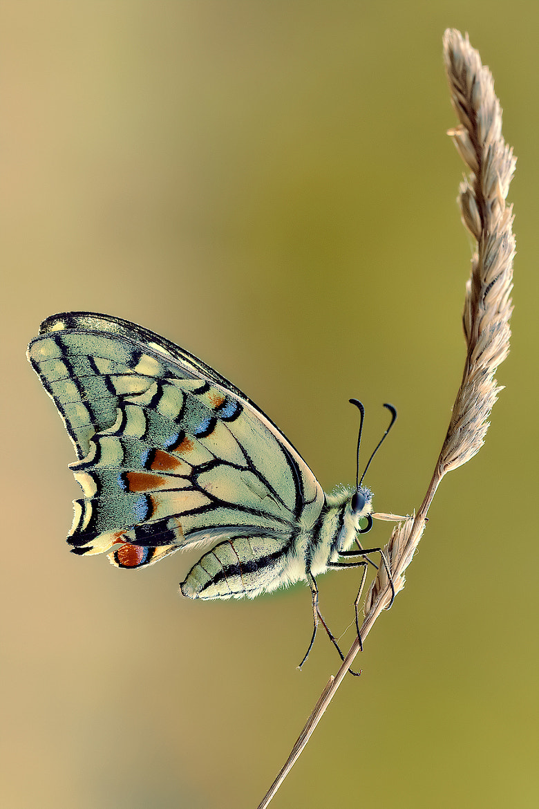 Photograph Papilio Machaon by Roberto Becucci on 500px