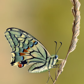 Papilio Machaon by Roberto Becucci (Macroroby)) on 500px.com