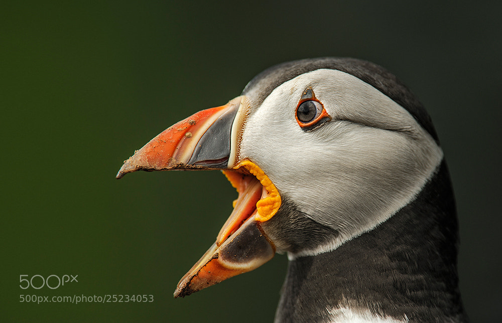 Photograph Crazy Puffin by Geoffrey Baker on 500px