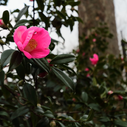 Winter rose, Canon EOS 70D, Canon EF-S 10-22mm f/3.5-4.5 USM