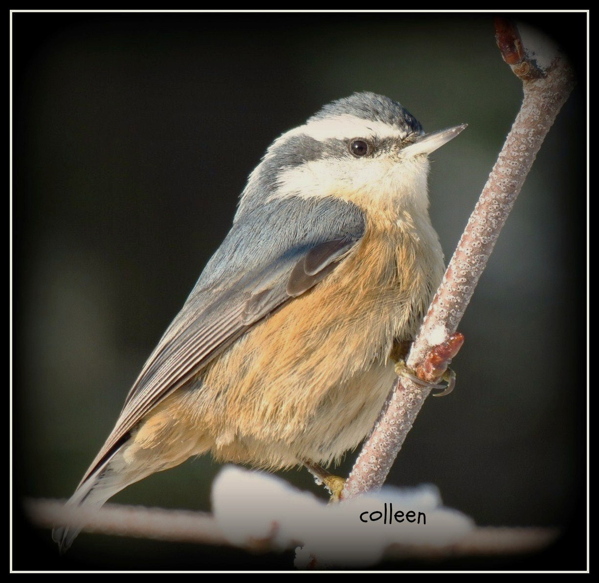 Photograph Portrait Of A Nuthatch! by colleen thurgood on 500px