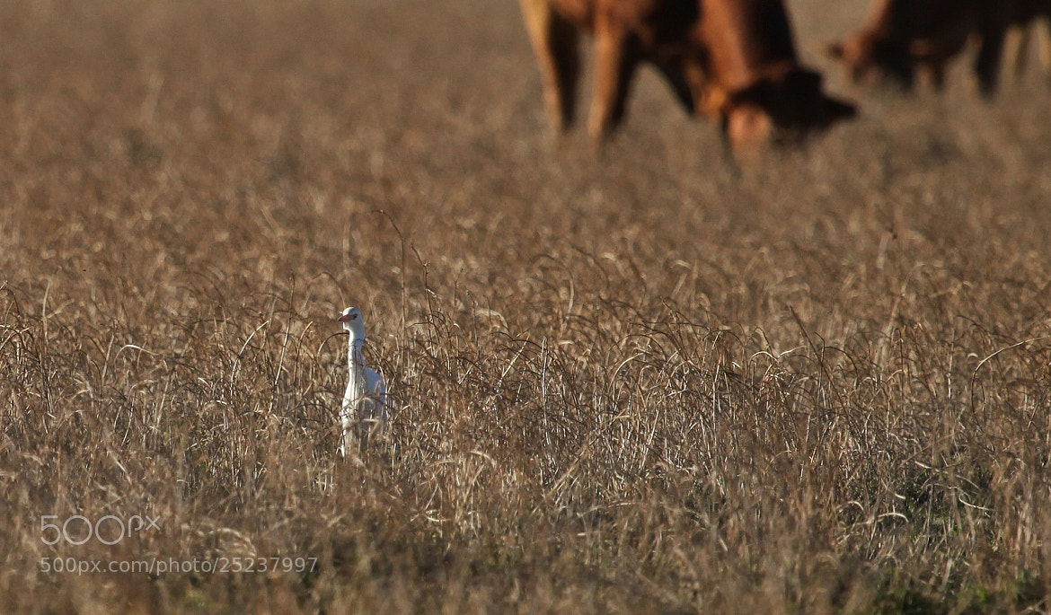 Photograph The Egret and the cattle by Pescalune Photo on 500px