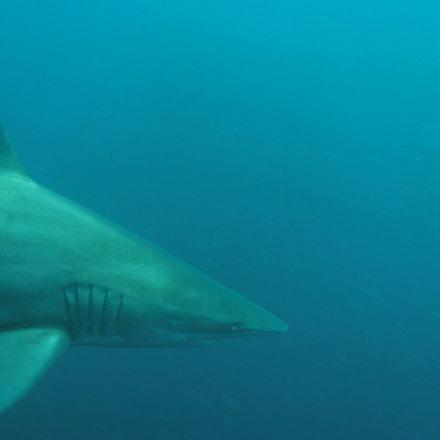 Oceanic Blacktip Shark, Canon POWERSHOT A720 IS