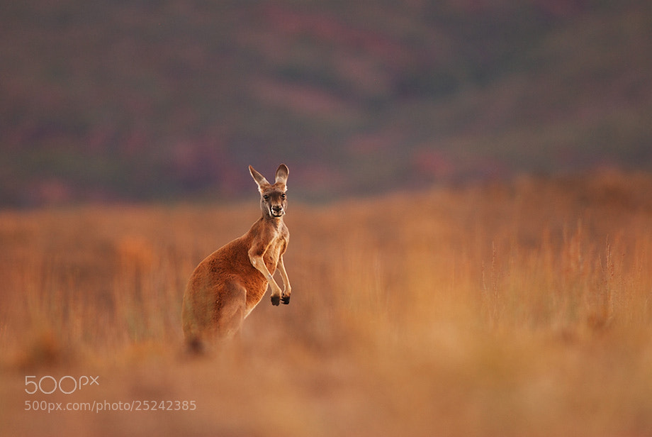 Photograph Red Kangaroo by Sean Crane on 500px
