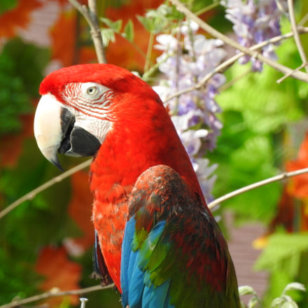 A colourful macaw, Nikon COOLPIX P900s
