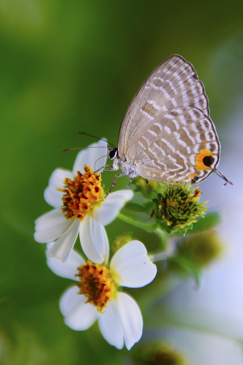 Photograph Butterfly by Mars Lin on 500px