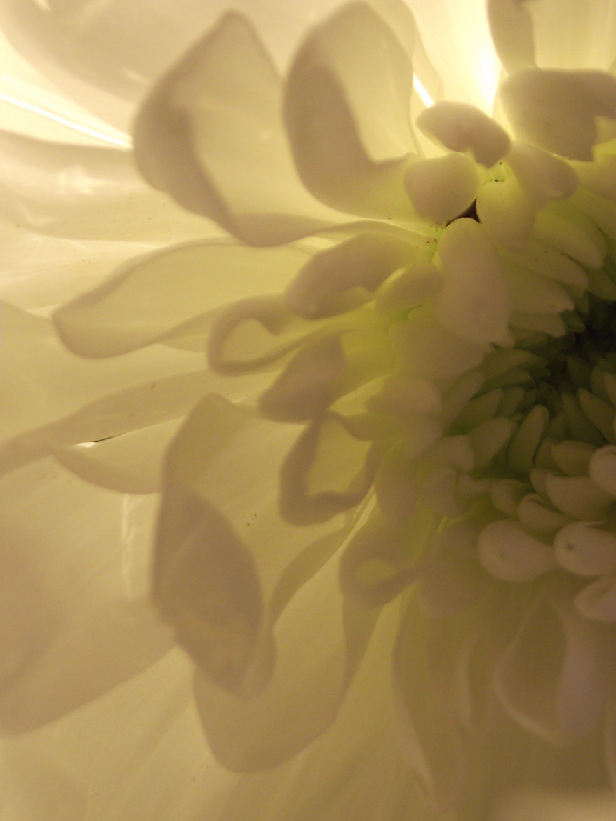 Photograph white flower petals  by Shirley Tucker on 500px