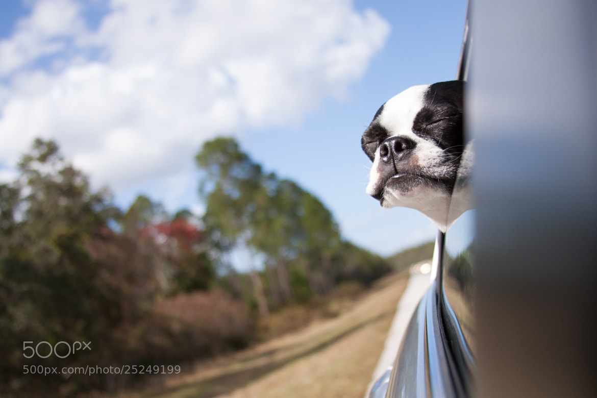 Bosten terrier travelling -- dog photography tips