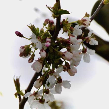 White blossom, Panasonic DMC-FZ48