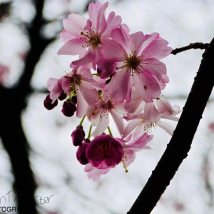 Pink Blossom, Panasonic DMC-FZ48