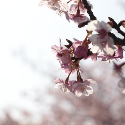 cherryblossoms, Canon EOS KISS X7I, Canon EF-S 18-135mm f/3.5-5.6 IS STM