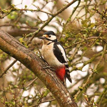 great spotted woodpecker, Canon EOS 70D, Sigma 150-500mm f/5-6.3 APO DG OS HSM