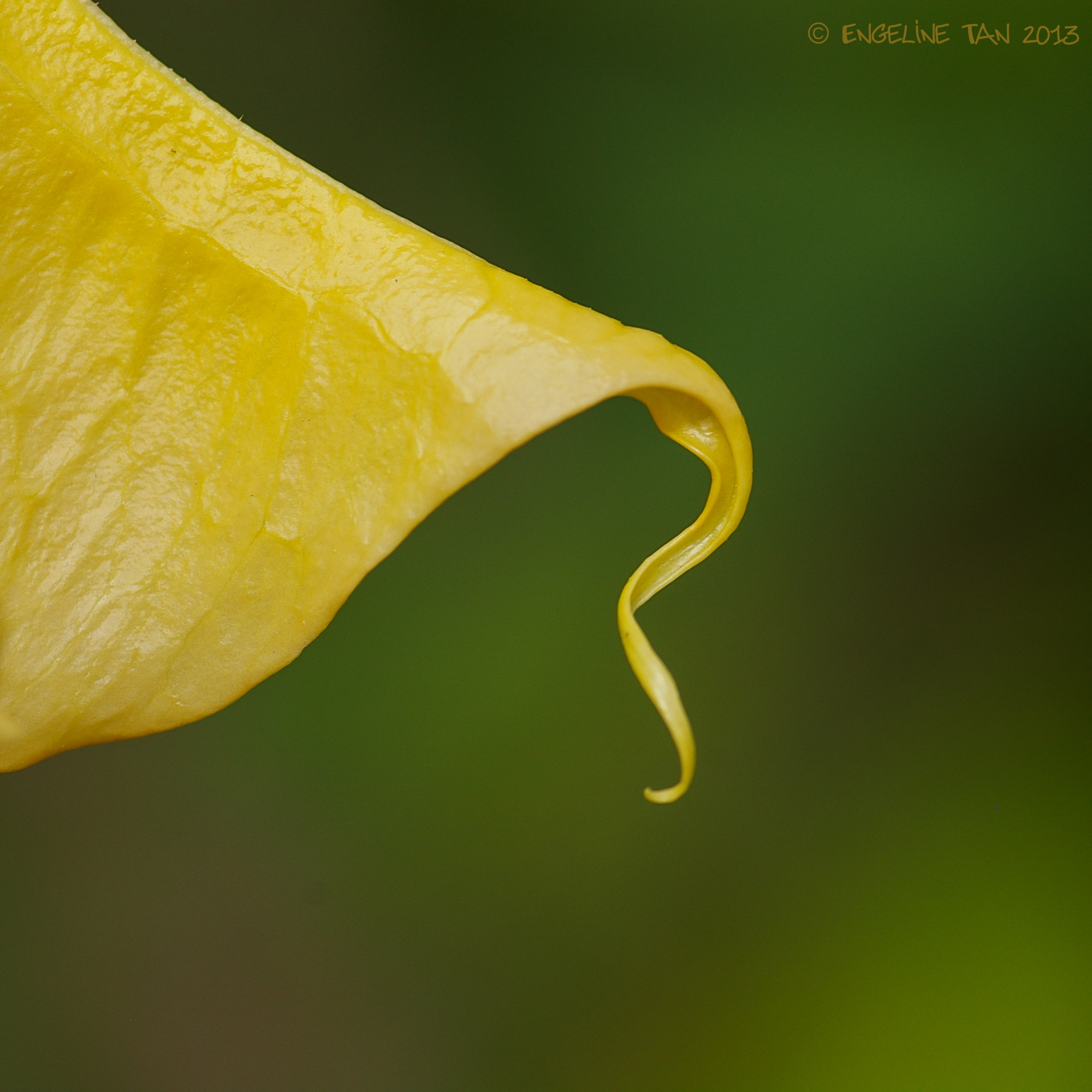 Photograph Brugmansia detail by Engeline Tan on 500px