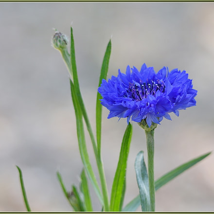 Blue is also for, Nikon D750, Sigma APO 120-400mm F4.5-5.6 DG OS HSM