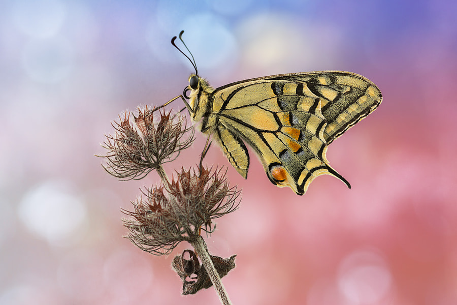 Machaon by Andrea Panozzi on 500px.com