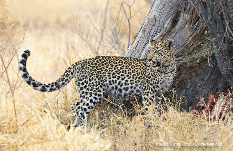 Photograph Leopard by Charles Glatzer on 500px