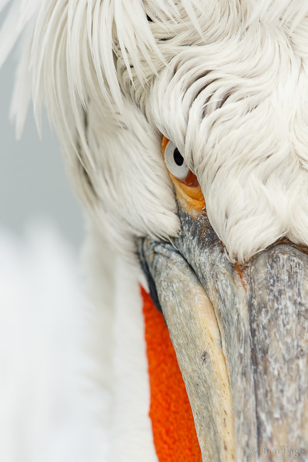 Photograph Intense Pelican by Ben Page on 500px