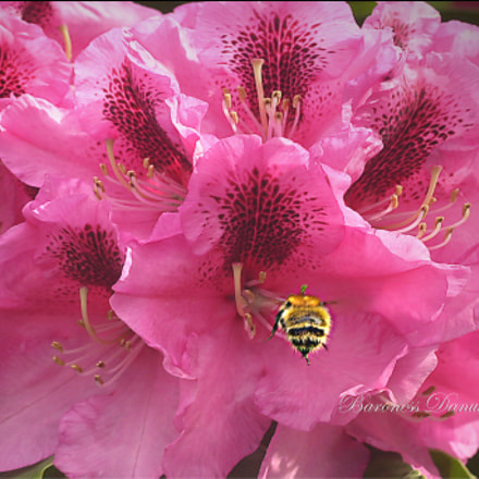 Buzzing Bee  springtime, Nikon D1