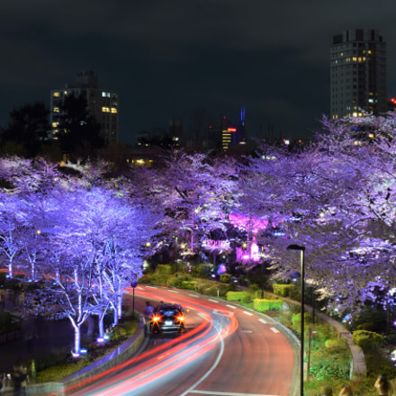 Cherry Blossom - Tokyo, Nikon D3300, Sigma 30mm F1.4 EX DC HSM