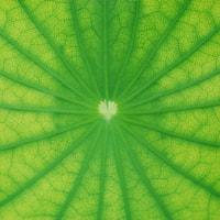 Relaxing Lotus leaf