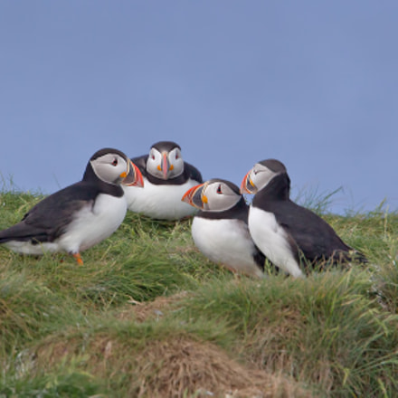 Atlantic Puffin Party