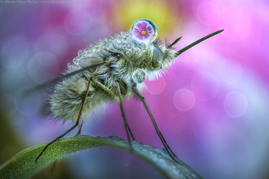 Bombylius' spring by Alberto Ghizzi Panizza on 500px.com