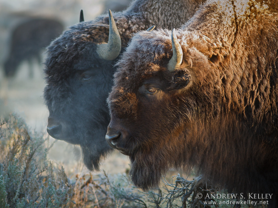 Photograph Frosted Bison by Andrew Kelley on 500px