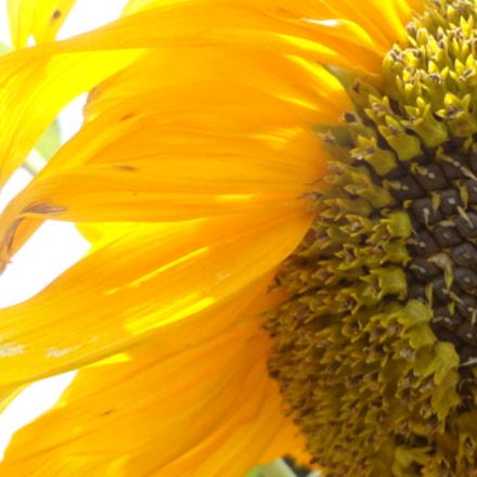 sun flower, Sony DSC-W570