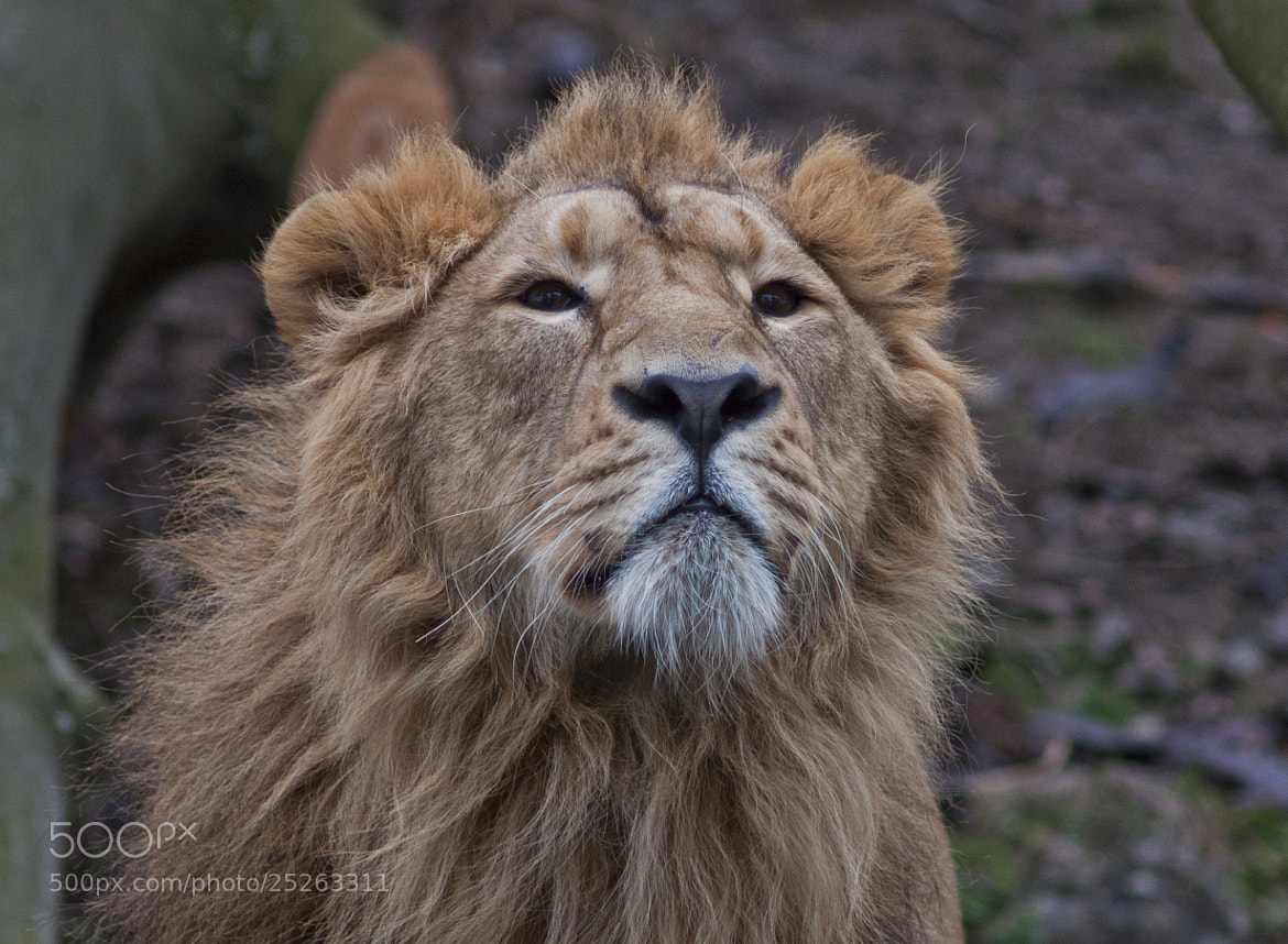 Photograph Lion dream by Jules Marragou on 500px