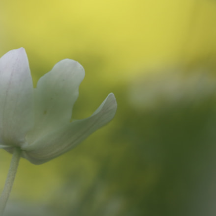 Anemone, Canon EOS 80D, Sigma APO Macro 150mm f/2.8 EX DG HSM