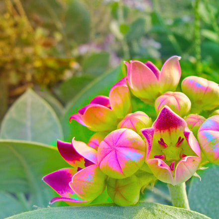 blossoming flowers in hd, Sony DSC-H3