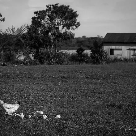 Con sus pollitos, Canon POWERSHOT A610