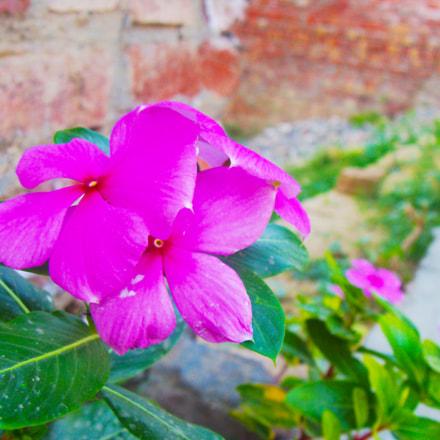 pink flowers, Sony DSC-H3