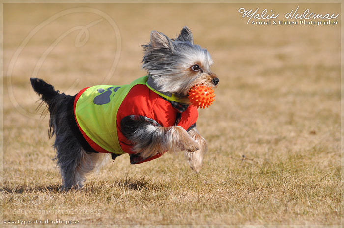 Photograph Yorkshireterrier by Malin Hultman on 500px
