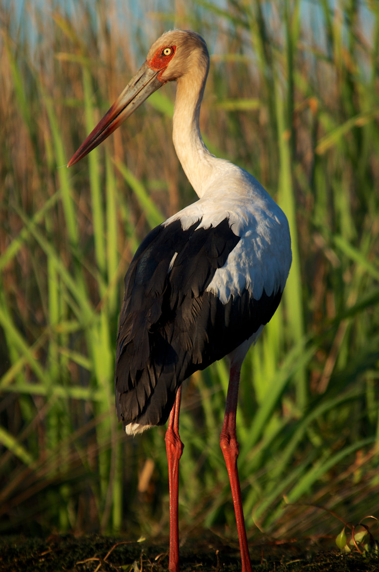 Photograph Maguari Stork by Remco Douma on 500px