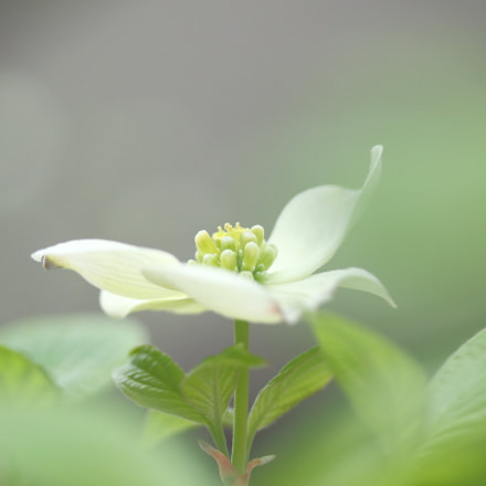 flowering dogwood, Canon EOS KISS X7, Canon EF-S 60mm f/2.8 Macro USM
