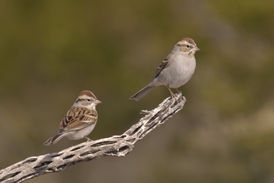 Photograph Chipping Sparrow. by Luis Jaime Leal on 500px