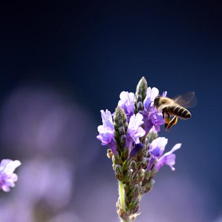 Bee, Nikon D7200, AF-S Nikkor 300mm f/4D IF-ED