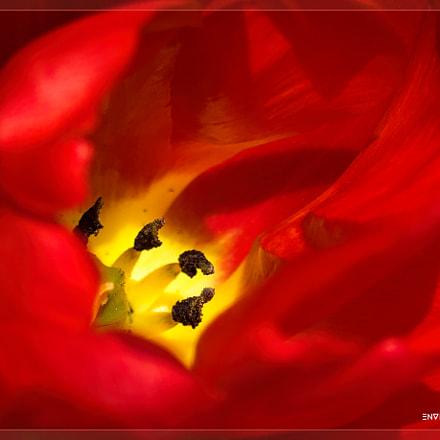 Landscape of a Tulip, Sony ILCE-7R, Tamron 18-270mm F3.5-6.3 Di II PZD
