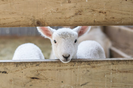 cute baby lamb looking through the fence